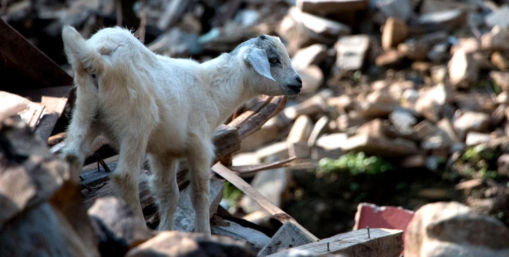 Lamb in Keura   Nepal Earthquake
