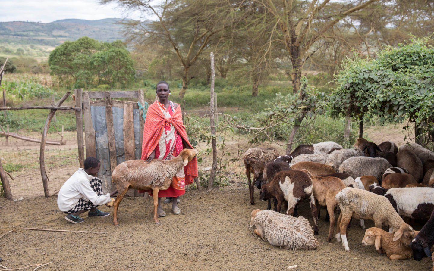 Maasai Woman cares for livestock at her home in Enariboo, Kenya
